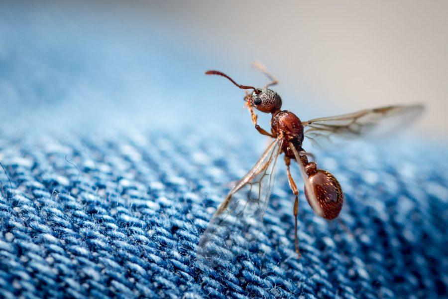 φτερωτά μυρμήγκια | Απεντομώσεις Fastoil