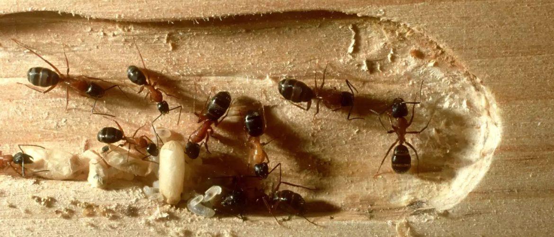 ξυλοφαγα μυρμηγκια