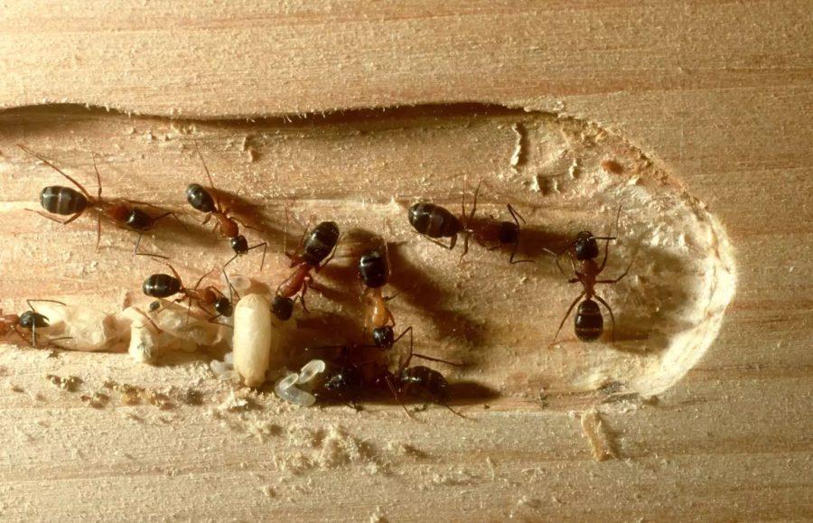 ξυλοφάγα μυρμήγκια